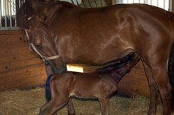 Zarusa's Filly Nursing 2 hours after birth